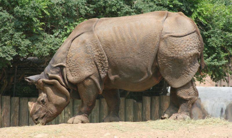 https://upload.wikimedia.org/wikipedia/commons/thumb/f/f9/Indian_Rhinoceros_-_Buffalo_Zoo.jpg/800px-Indian_Rhinoceros_-_Buffalo_Zoo.jpg