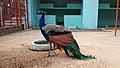 Indian peafowl at Chittagong Zoo (06).jpg