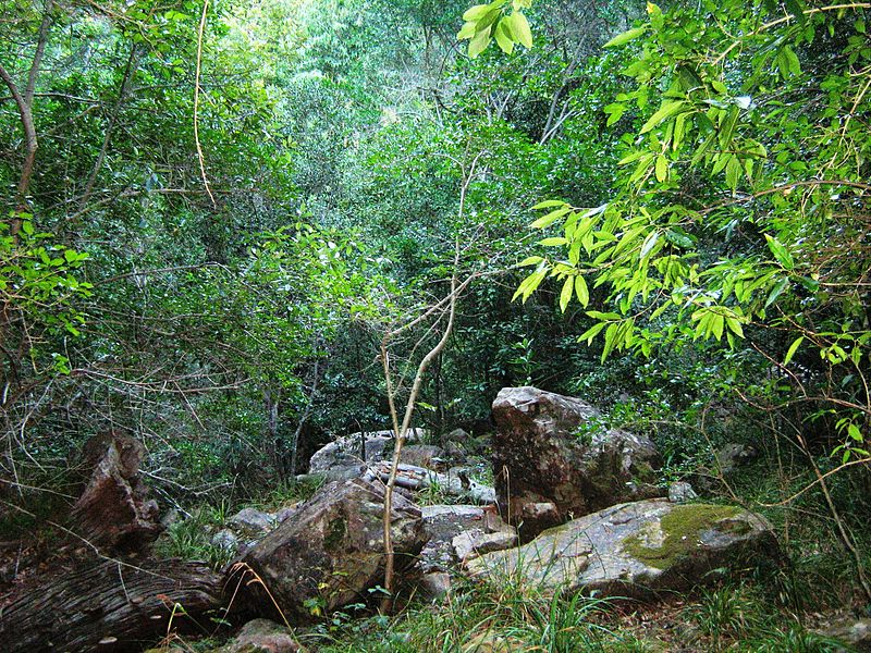 File:Indigenous afrotemperate forest at Newlands Cape Town 12.jpg