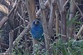 Indigo Bunting (female) Battleground SHP Sabine Pass TX 2018-03-31 07-17-02 (27411618208).jpg