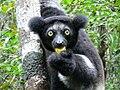 Indri Head.jpg