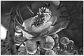 Inflorescence of Canon-ball tree by Dharani Prakash.jpg