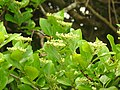 Insects Wasp from Madayipara DSCN2124.jpg