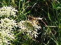 Insekt auf Doldenblütler-.jpg