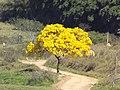 Ipê amarelo florido, às margens da Lagoa do IFMG campus Bambuí. - panoramio.jpg