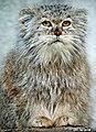 Irate pallas cat (4493561985).jpg