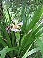 Iris foetidissima-flower-6.jpg