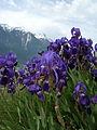 Iris germanica Valais1.JPG