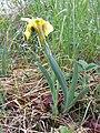 Iris humilis subsp. arenaria sl24.jpg