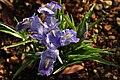 Iris planifolia 02.JPG