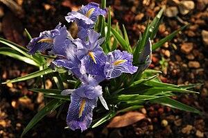 Iris planifolia - Iris planifolia at Bern Botanic Garden