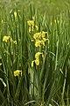 Iris pseudacorus LC0339.jpg