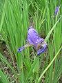 Iris spuria Bastard-Schwertlilie 2007-05-13 393.jpg