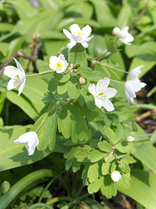Isopyrum thalictroides