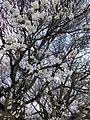Isshingyo big cherry tree 04.jpg
