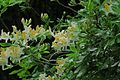 J20150521-0048—Rhododendron occidentale—RPBG (17761763649).jpg