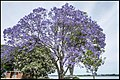 Jacaranda in Grafton too early-3 (30390465072).jpg