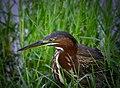 Jacksonville Green Heron.jpg