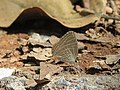 Jamides celeno - Common Cerulean mud puddling at Peravoor (1).jpg