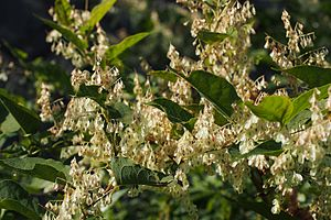 Japanese Knotweed (Fallopia japonica) (22310124056).jpg