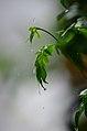 JasmineLeaf waterDrop.jpg