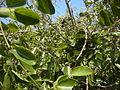 Jasminum didymum fruit.jpg