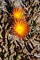 Jordaaniella cuprea (Aizoaceae) (23582829058).jpg