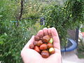 Jujube in the hand.JPG