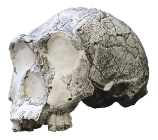 <i>Homo</i> Genus of hominins that includes humans and their closest extinct relatives