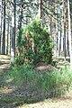 Kadiķis ar skudru pūzni, Babītes pagasts, Babītes novads, Latvia - panoramio.jpg