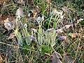 Kamenný vrch, kvetoucí koniklece (5).jpg