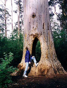 Karri Walk Through Beedelup National Park.jpg