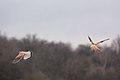Kestrels - Rutland Water March 2010 (4452405912).jpg