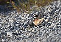 Killdeer Faking an Injury to Protect Young (34190349680).jpg