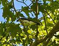 Kingbird 1.jpg