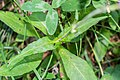 Knautia dipsacifolia in Chablais (2).jpg