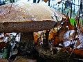Koźlarz babka - panoramio.jpg