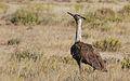 Kori bustard, Ardeotis kori, at Kgalagadi Transfrontier Park, Northern Cape, South Africa (34374575642).jpg