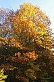 Korina 2013-10-22 Quercus rubra.jpg