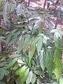Kotta Plant.JPG