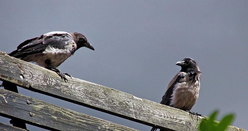 Kråka - Corvus cornix