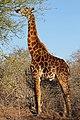 Kruger NP (30897940101).jpg