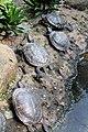 Kura-kura brazil Trachemys scripta elegans Bandung Zoo 2.jpg