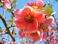Květ Kdoule 03.JPG