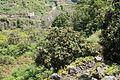 La Palma - San Andrés y Sauces - Barranco del Agua + Calle Los Tilos - Eriobotrya japonica 01 ies.jpg