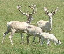 Statut de conservation UICN. ( EN ) EN A2bcd+4bcd C1+2a(i) : En danger.