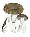 Lactarius violascens Bres-Tab. 369.jpg