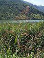 Lago endine canna palustre Phragmites australis 07.jpg