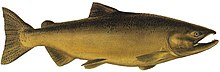 A large, golden-brown fish