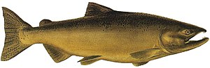 Chinook salmon - Freshwater-phase (note the more curved jaws and change in colour)